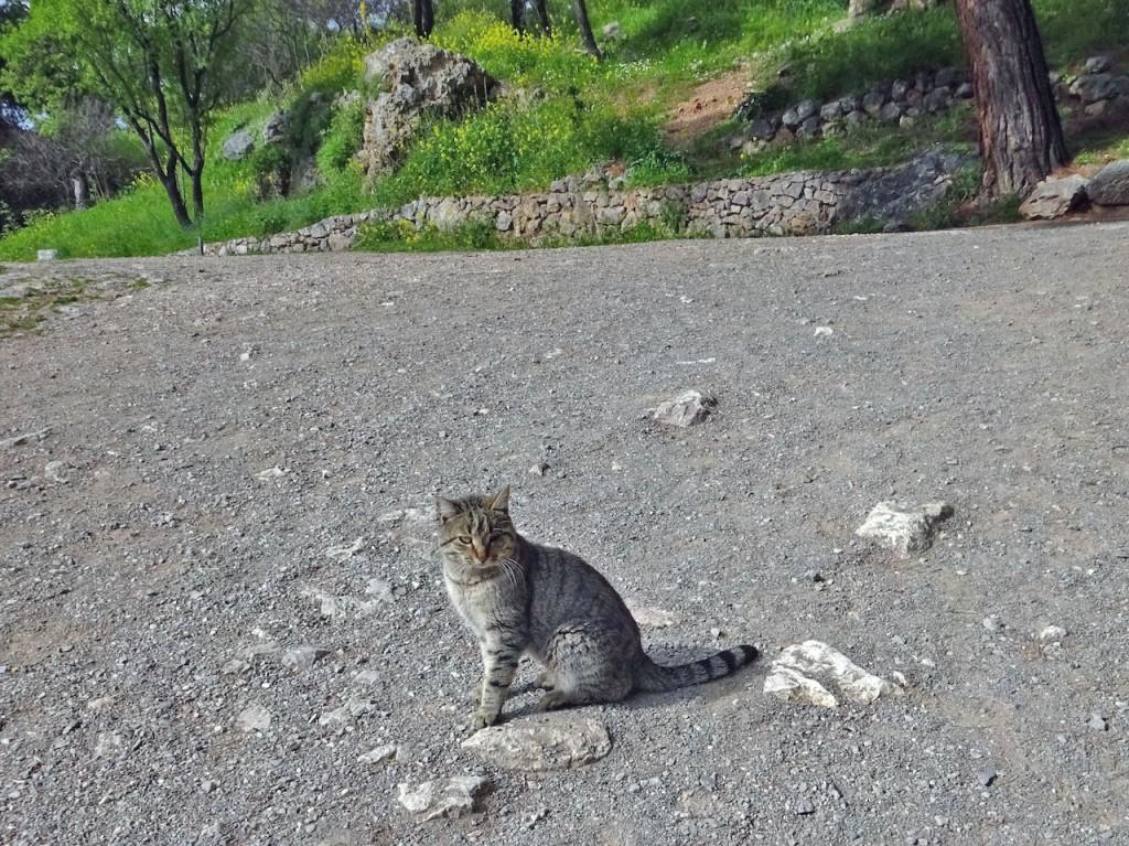 Wild cat at Delphi. Photo by Sarah Scott.