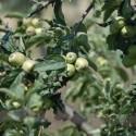 apples blushing_325